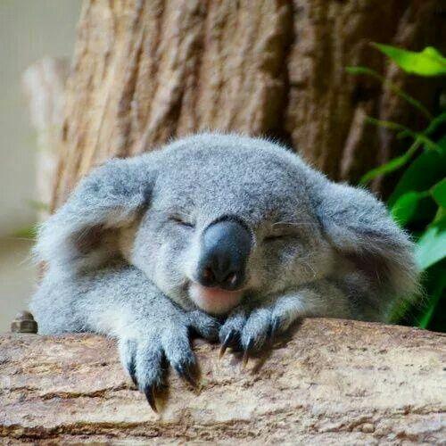 sleeping-koala.jpg