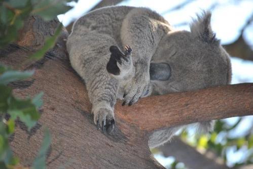 Koala Smartass